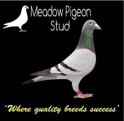 Meadow Pigeon Stud